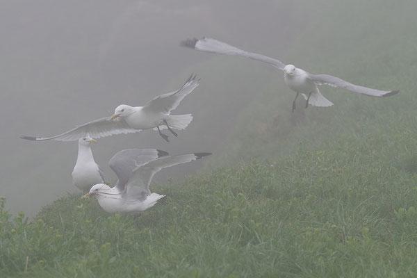 Dreizehenmöwen im Nebel