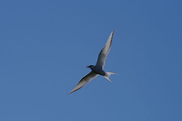Küstenseeschwalbe im Flug