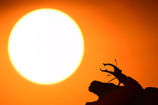 Juni 2019- Hirschkäfer Männchen im Sonnenuntergang