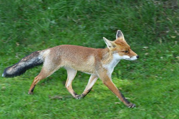 Fuchs im Lauf