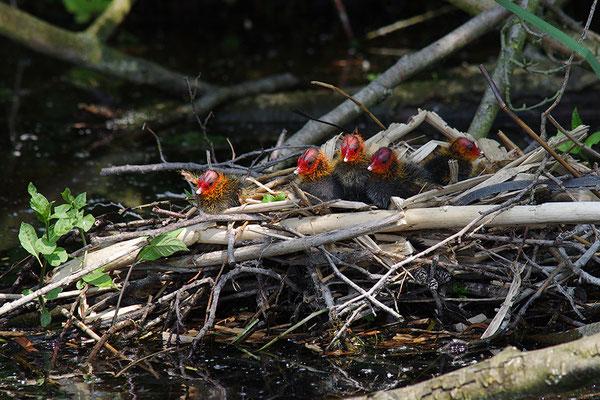 Blässralle Jungvögel am Nest