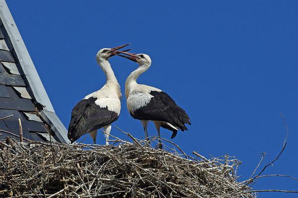 Weißstorch Jungvögel