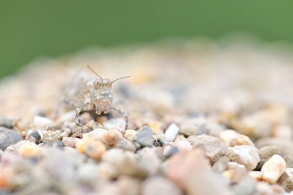 Blauflügelsandschrecke Suchbild