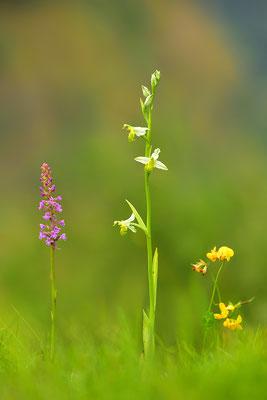 Gelbe Bienenragwurz flavescens