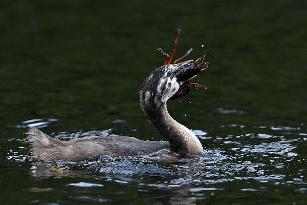 Haubentaucher Jungvogel mit Flusskrebs
