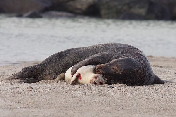 Fehlpaarung zwischen Kegelrobbenbulle und Seehund
