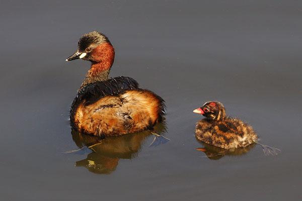Zwergtaucher mit Jungvogel