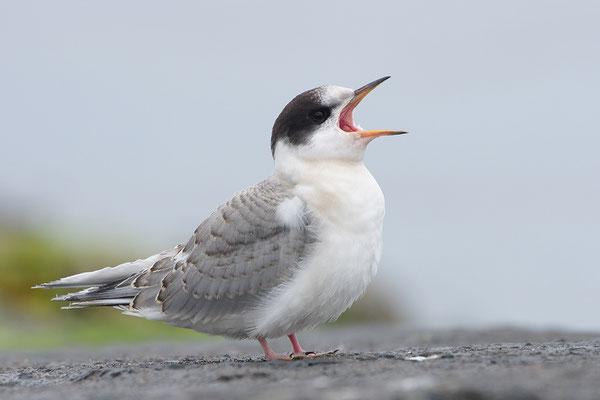 Küstenseeschwalbe Jungvogel