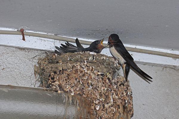 junge Rauchschwalben am Nest