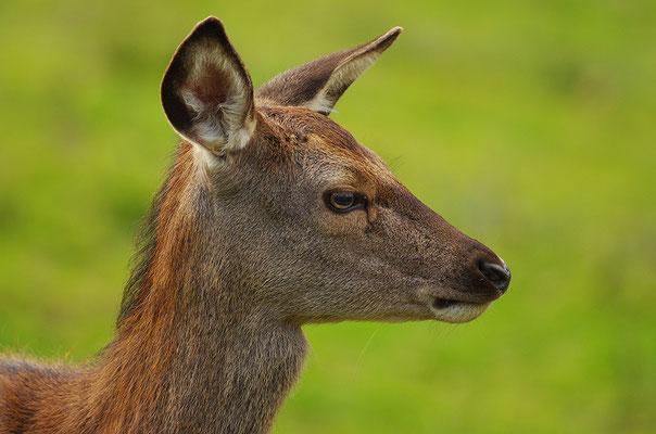Rothirsch Weibchen Kopfportrait