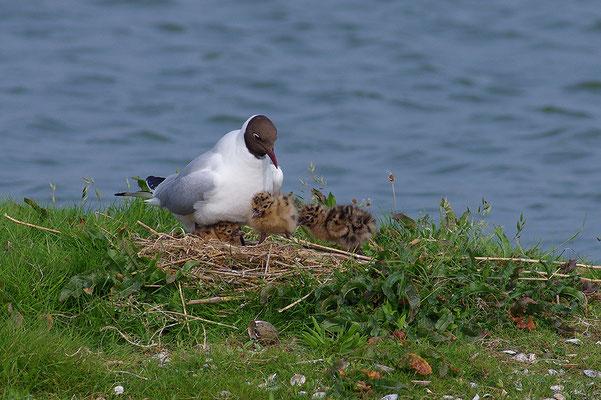 Lachmöwe am Nest mit Jungvögeln