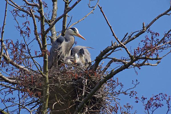 Graureiher mit Jungvögeln am Nest
