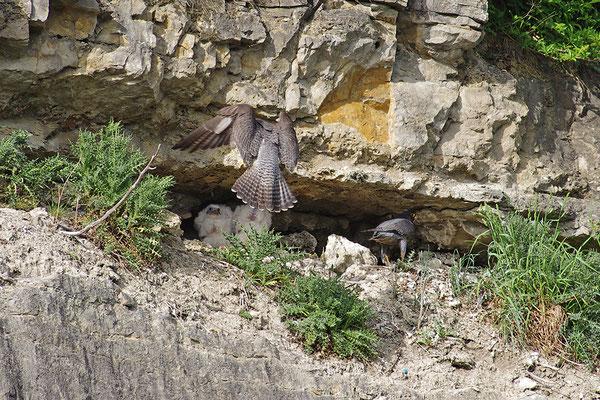 Wanderfalke am Nest