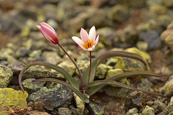 Kretische Tulpe