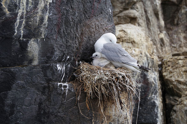 Dreizehenmöwe am Nest