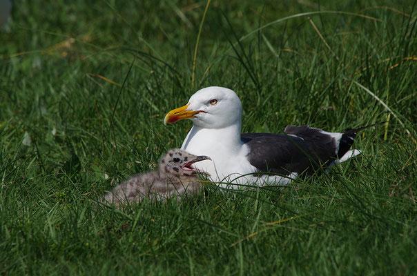 Heringsmöwe mit Jungvogel