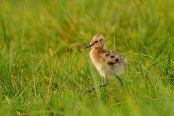 Uferschnepfe Jungvogel