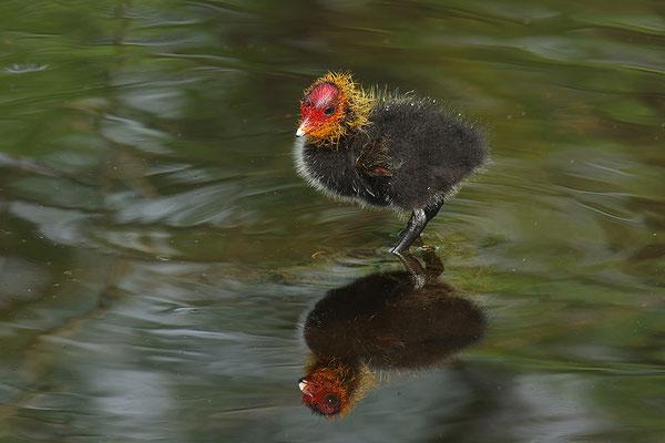 Blässralle Jungvogel