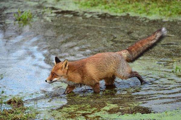 Fuchs geht durch das Wasser