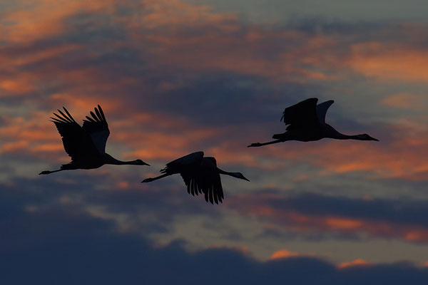Kraniche im Flug im Abendlicht
