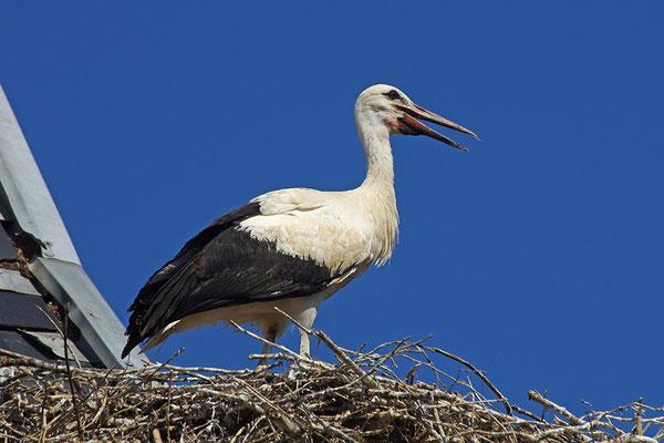 Weißstorch Jungvogel