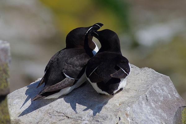 Tordalk Paar