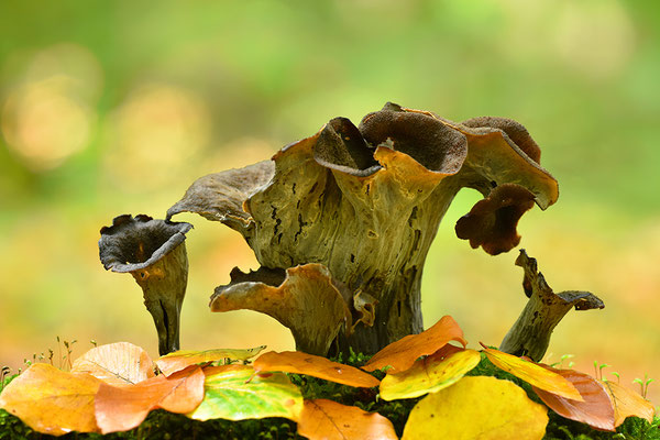 Herbsttrompete