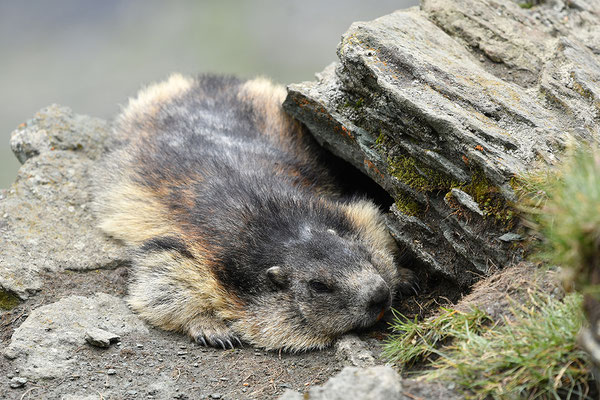Murmeltier schlafend