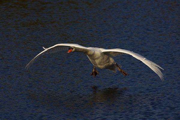 Höckerschwan bei der Landung
