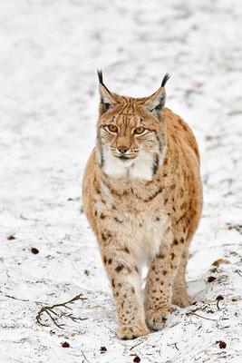 Luchs im Schnee Nationalpark Bayrischer Wald Tierfreigelände Neuschönau