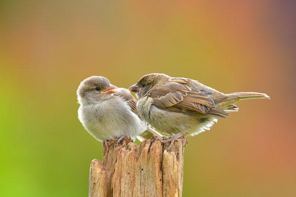Haussperling Jungvögel