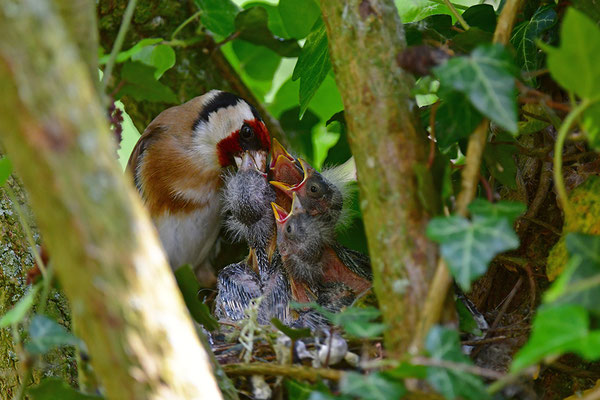 Stieglitz am Nest bei der Fütterung