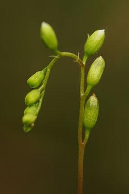Rundblättriger Sonnentau Blütenstand