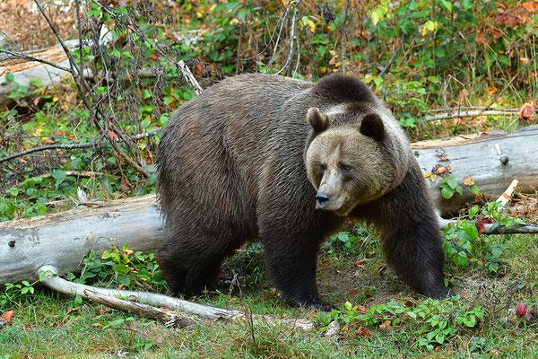 Braunbär Weibchen, Nationalpark Bayrischer Wald Tierfreigelände Neuschönau