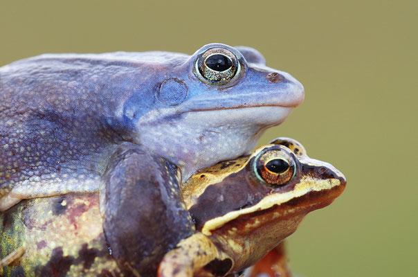 Moorfrosch Paar