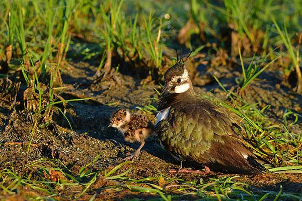 Kiebitz Weibchen mit Jungvogel