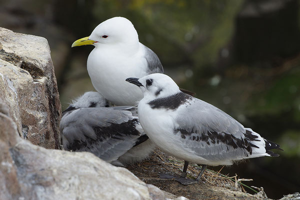 Dreizehenmöwe am Nest mit Jungvogel