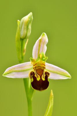 Bienenragwurz Detail
