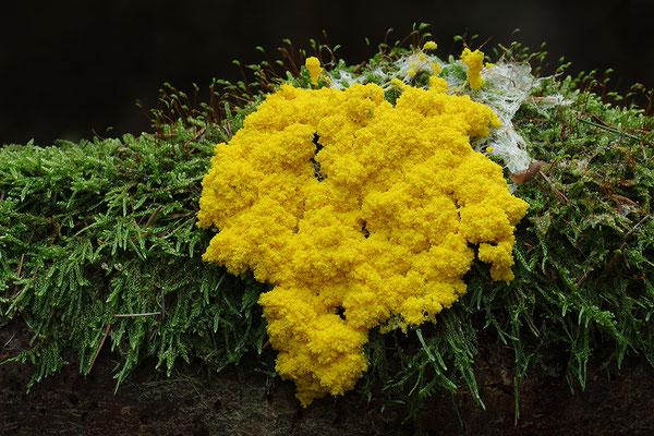 Gelbe Lohblüte, Hexenbutter