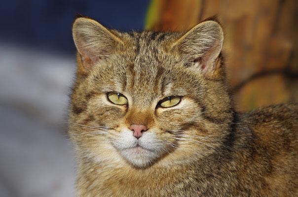 Wildkatze Kopfportrait, Nationalpark Bayrischer Wald Tierfreigelände Neuschönau