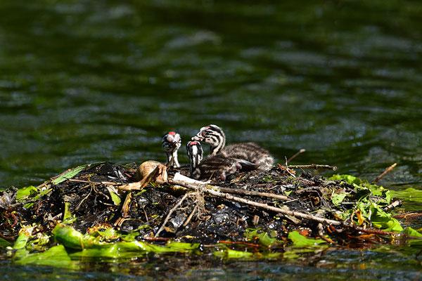 Haubentaucher Jungvögel am Nest