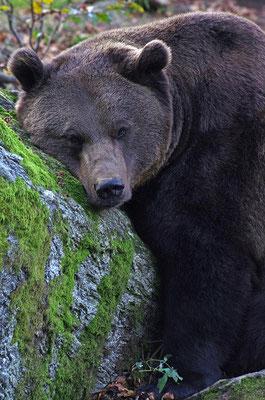 Braunbär Kopfportrait, Nationalpark Bayrischer Wald Tierfreigelände Neuschönau