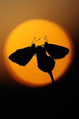 Bläulinge vor dem Sonnenuntergang