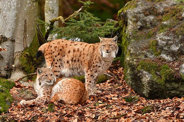 Luchs Nationalpark Bayrischer Wald Tierfreigelände Neuschönau