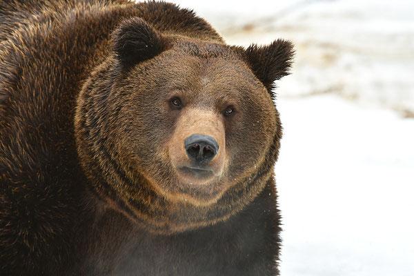 Braunbär Kopfportrait mit Atem, Nationalpark Bayrischer Wald Tierfreigelände Neuschönau