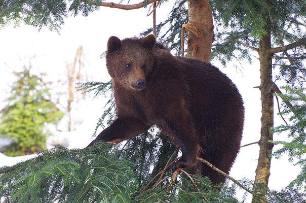 Braunbär Jungtier, Nationalpark Bayrischer Wald Tierfreigelände Neuschönau