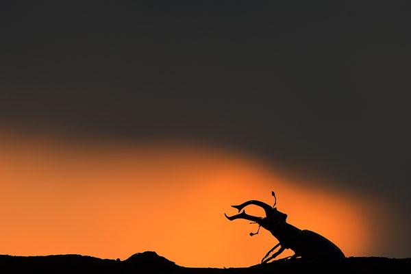 Hirschkäfer Männchen im Sonnenuntergang