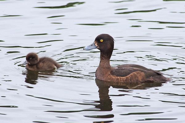 Reiherente Weibchen mit Jungvogel