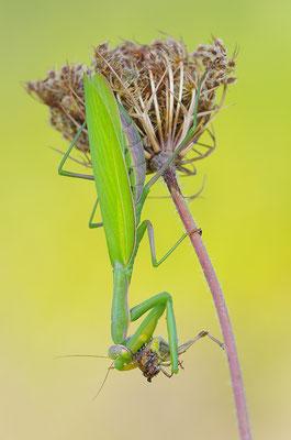 Gottesanbeterin Weibchen fressend