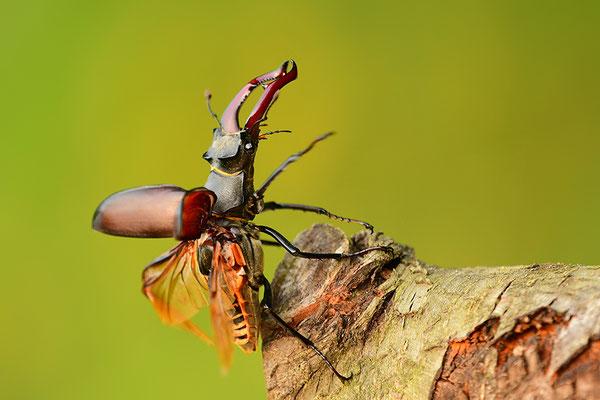 Hirschkäfer Männchen im Abflug
